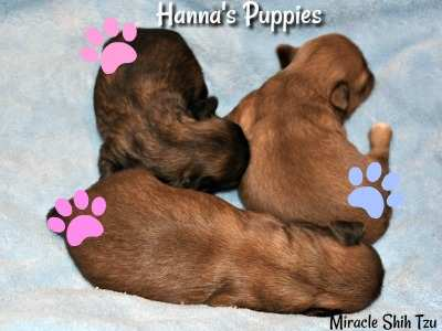 Hanna's Shih Tzu puppies at about two weeks old.
