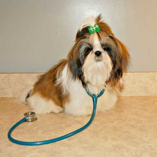 A red and white Shih Tzu puppy holding a stethoscope