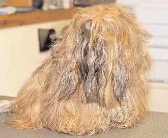 Matted Hair on Your Shih Tzu?  Where to Start