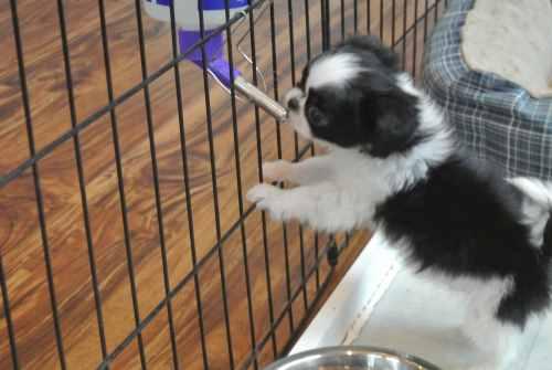 A Shih Tzu puppy (prapso) is drinking from a water bottle.