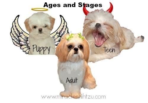 Shih Tzu Adolescence