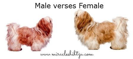Shih Tzu Dog:  Male or Female??