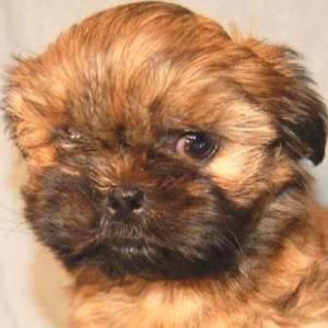 Red Shih Tzu Puppy