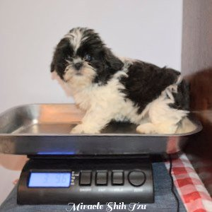 A young puppy is sitting on a scale