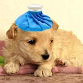 Sick puppy is vomiting