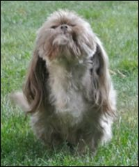 An adult chocolate colored Shih Tzu with liver points;  her color has faded to a light brown.